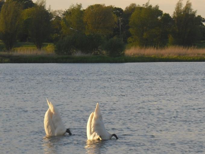 Swans near Aldwincle